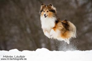 fly, sheltie, fly! by Maaira