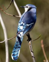 Blue Jay by GhostInThePines