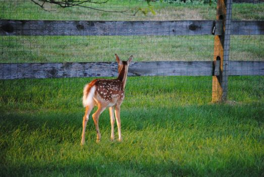 White Tailed Deer Fawn 1.1 by mocking-turtle-stock