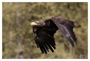 Juvenile Bald Eagle by W0LLE