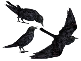 Crows PNG Stock by Roys-Art