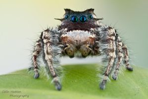 Phidippus carolinensis by ColinHuttonPhoto
