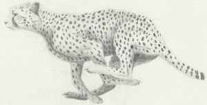 Cheetah Sketch by Aki-rain
