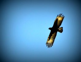 Crested eagle by jynto