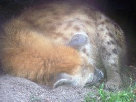 Hyena Sleeping 2 by Malakhite