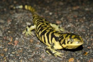 Ambystoma mavortium by michael-ray