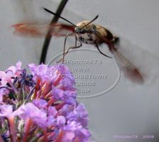 Hummingbird Moth - 2009 by Foozma73