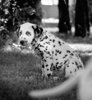 Dalmatian 2 by rabbit888