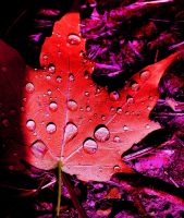 Red Leaf by melissrrr