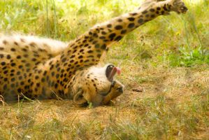 Sleepy Cheetah by ramblincat