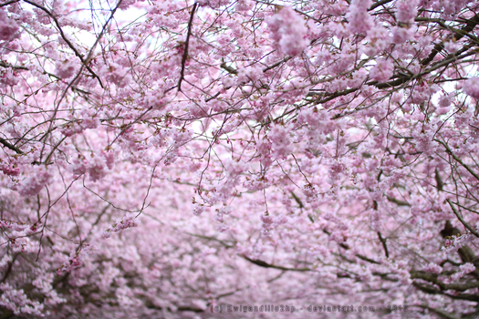 Sakura Tree by EwigandLilo2hp