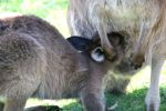 Wallaby 02 by steake