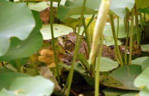 Bullfrog in the lillies by shapu