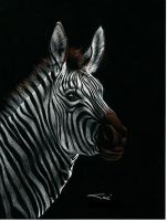 Zebra on Black-1 by sinccolor