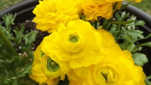 Yellow Ranunculus 2 by mc1964