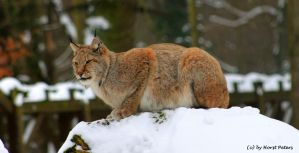Lynx 1 by bluesgrass