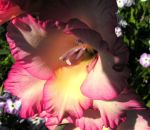 Pink and Yellow Gladiolus by JocelyneR