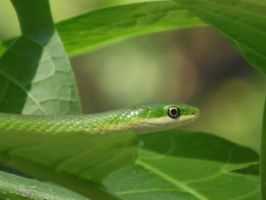 Smooth Green Snake by NatureGirl4Ever
