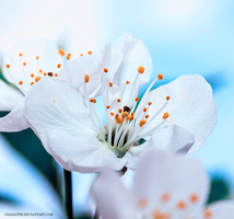 Cherry Blossom by chamathe