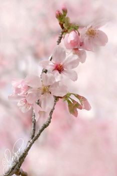 Cherry Blossoms by ForeverCreative