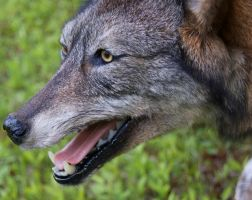 Dark Coyote close up by Phoenix-Cry