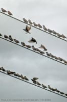 Birds on a Wire by La-Vita-a-Bella