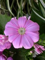 Pink Flowers Unres stock 05 by shelldevil