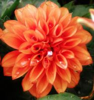 Orange Dahlia by SongBird55