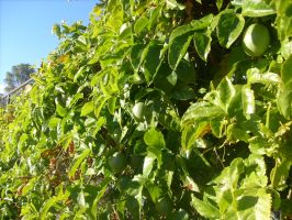 Passionfruit Vines by jess13795