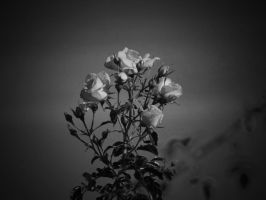 white roses by NiloDirf