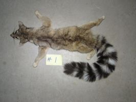 Ringtail Cat by TabbyFoxTaxidermy