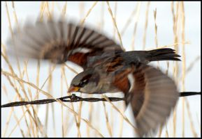 House Sparrow Male Flying by houstonryan
