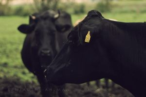 More Cows by BAproductions