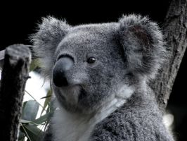 Koala Face by AtomicBrownie