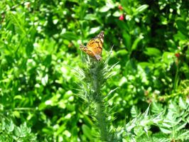 Butterfly - Painted Lady by Stock-By-Crystal