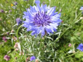 Cornflower Frills by Harrisons-Forge