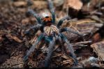 Colorful Chromatopelma cyaneopubescens by MachPL