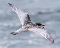 White Fronted Tern by ARC-Photographic