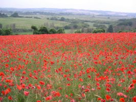 Poppies by julie29