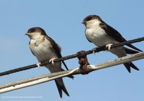 swallows by cloe-patra