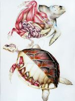 Sea turtle anatomy by hackamore