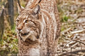 Lynx2 by brijome