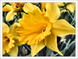 daffodils by onlyalive8