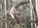 Red Tail Hawk on cold winters day by artmusiccw