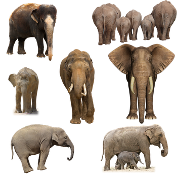 Elephants PNG by chaseandlinda