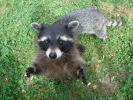 Raccoon by AnTheilo