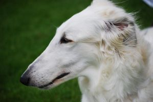borzoi by Honeycorn