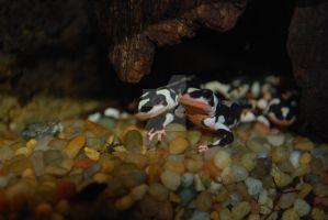 Iranian Harlequin Newts by ManitouWolf