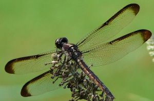 Female Slaty Skimmer..I.think by duggiehoo