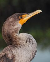 Cormorant Profile by papatheo